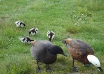 Lake Brunner Paradise Ducks